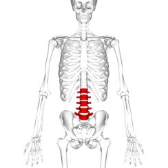 375px-lumbar_vertebrae_anterior