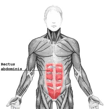 Rectus_abdominis.png