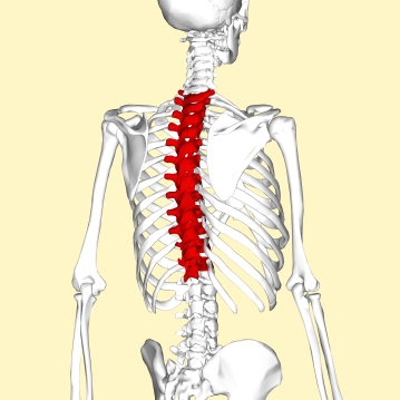 thoracic_vertebrae_back3